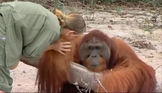 Watch Hercules the Orangutan Over It GIF on Gfycat. Discover more related GIFs on Gfycat