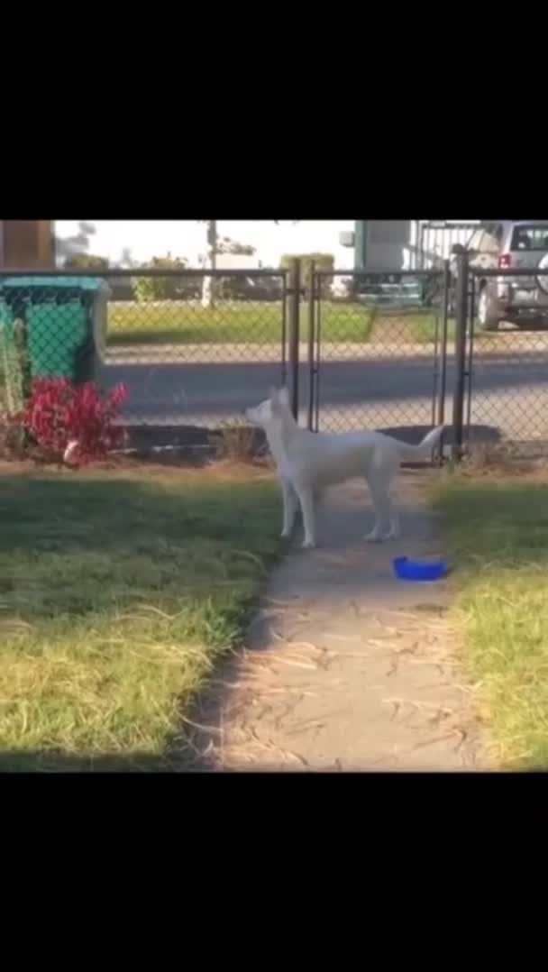 me_colin, Deaf and blind doggo smells his owner coming. GIFs