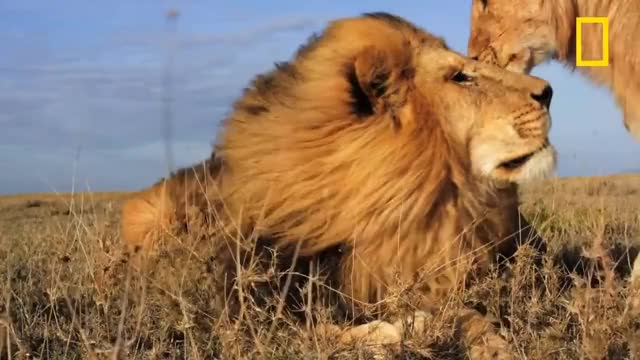 Watch Kiss GIF on Gfycat. Discover more Magazine, Natgeo, Photography, SCIENCE, Survival, animals, discover, documentary, explore, interactive, lion, lions, nature, photographer, serengeti, social, wildlife GIFs on Gfycat