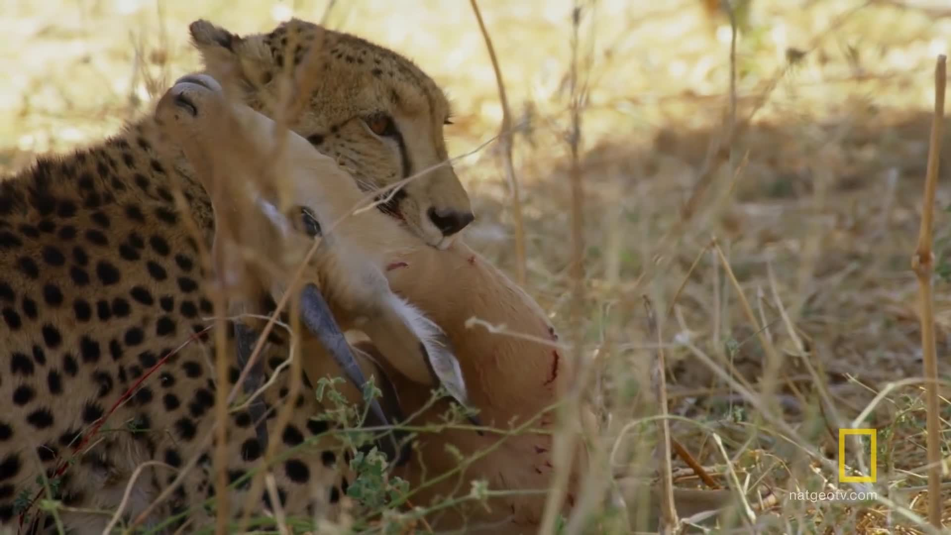 animals, discover, explore, nat geo, natgeo, national geographic, nature, science, survival, wildlife, Hyena Steals a Cheetah's Kill | Savage Kingdom GIFs