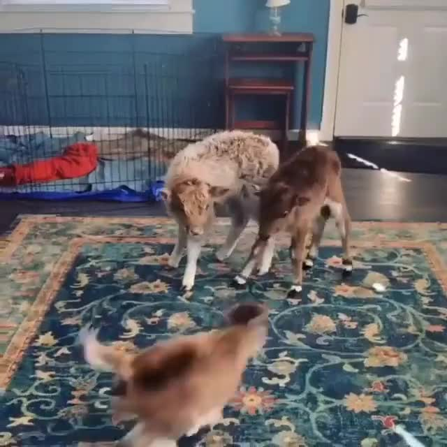 Watch and share Baby Cows GIFs and Zoomies GIFs by lnfinity on Gfycat