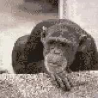 Watch and share No Monkey GIFs on Gfycat