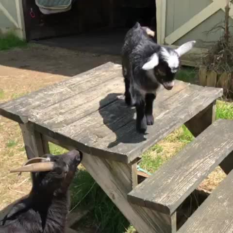 Watch and share Goat Parkour GIFs by FarSizzle on Gfycat