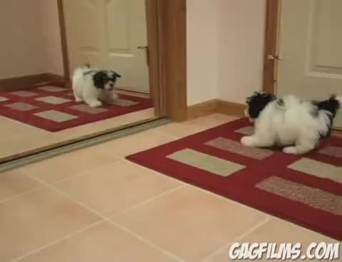 adorable, cute dog rams head with a mirror, Aww. GIFs