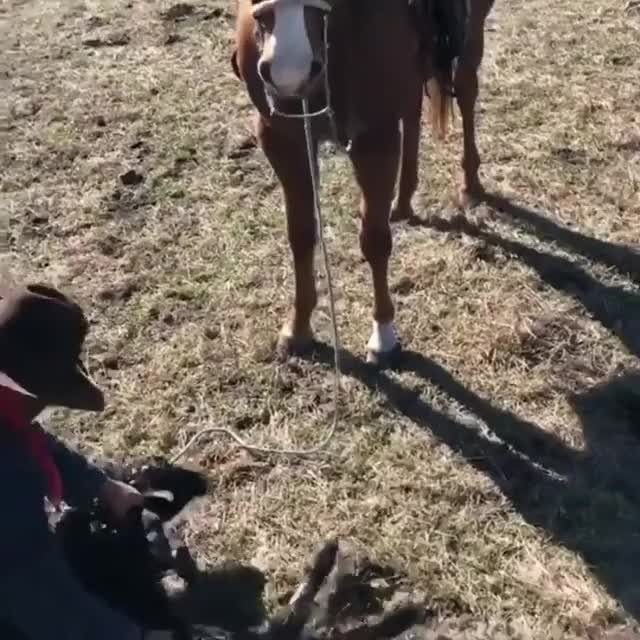 Watch Horse protecting it's cowboy during work GIF on Gfycat. Discover more related GIFs on Gfycat