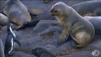 Watch Discovery GIF on Gfycat. Discover more animals, cute, cute animals, discovery, discovery channel, funny, lol, penguins, sea lions GIFs on Gfycat