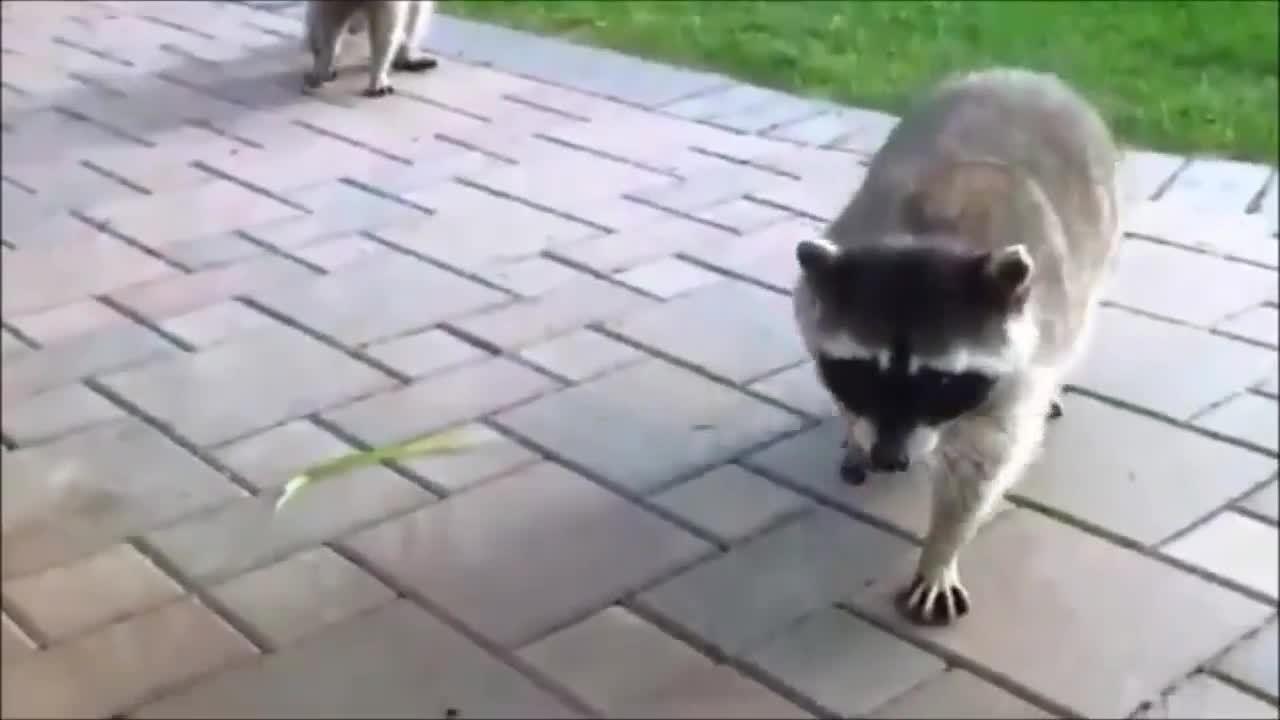 racoon, trashpanda, trashpandas, Thieving Trashpanda GIFs