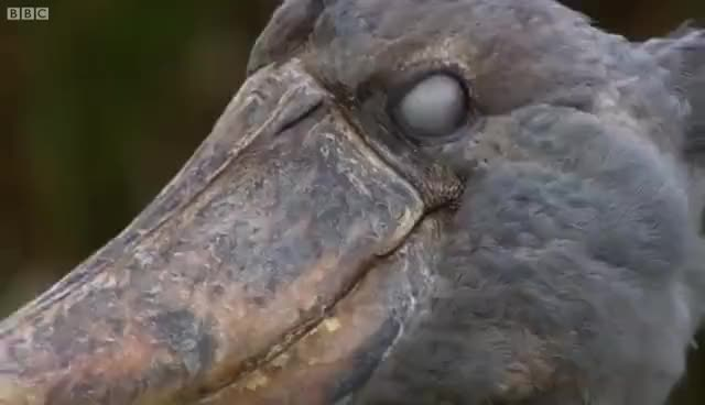 Watch and share Shoebill Chick Reveals Darkside  - Africa - BBC GIFs on Gfycat