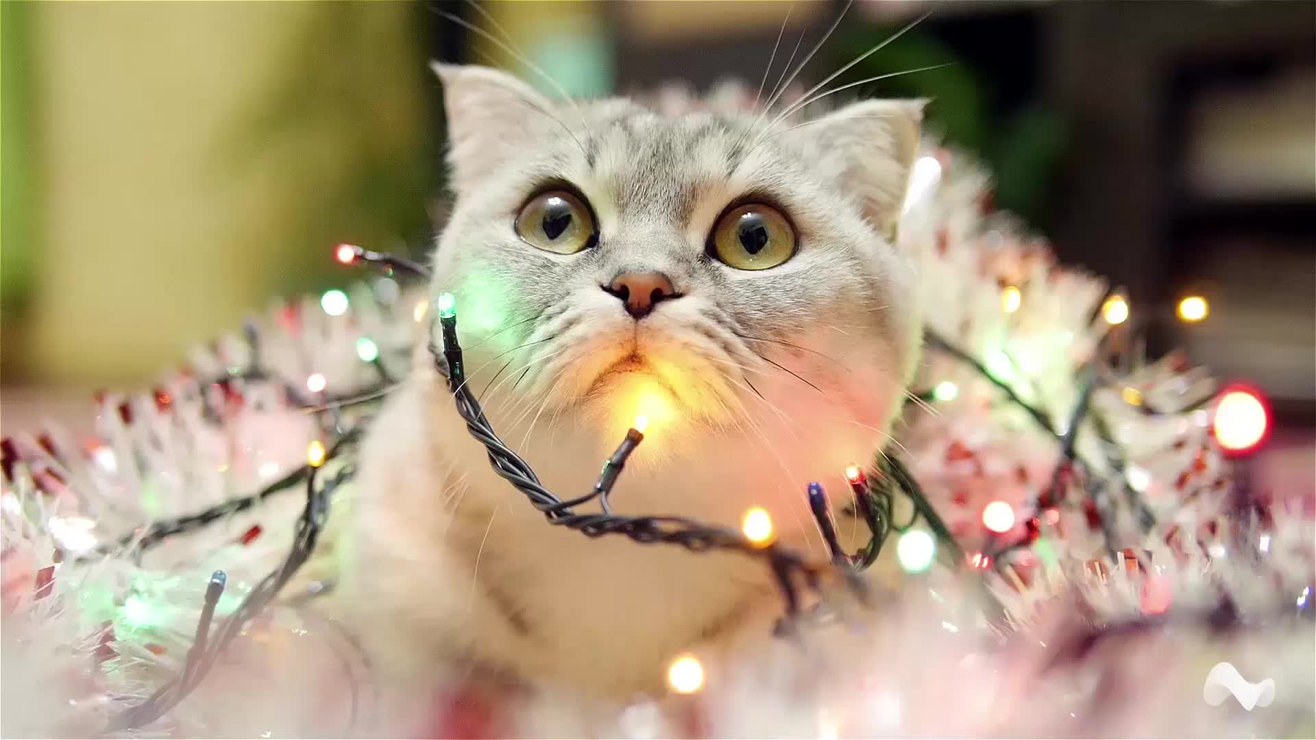 CatGifs, cat, catgifs, christmas, cute, kitten, kitty, xmas, Scottish Fold Xmas Lights GIFs