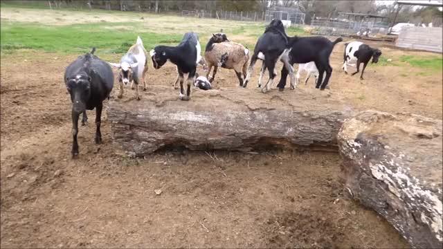 Watch Avoiding Bigger Kids GIF by KNS Farm (@knsfarm) on Gfycat. Discover more cute, goatparkour, goats, knsfarm GIFs on Gfycat