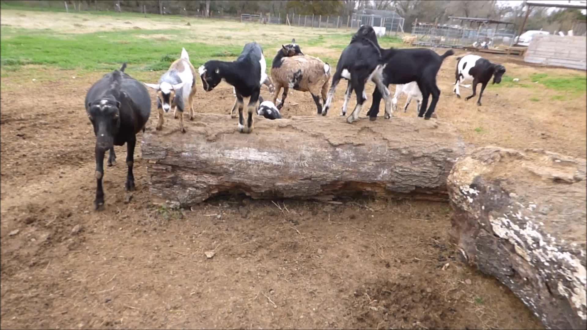 cute, goatparkour, goats, knsfarm, Avoiding Bigger Kids GIFs