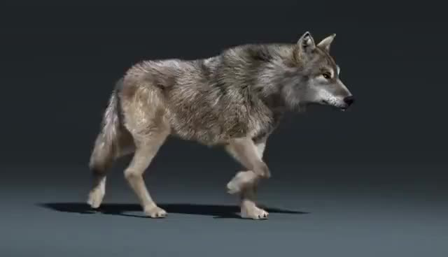 Watch and share Wolf Walk Cycle Animation GIFs on Gfycat