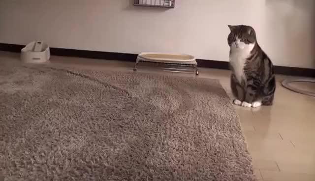 Watch Maru jump GIF on Gfycat. Discover more cat GIFs on Gfycat