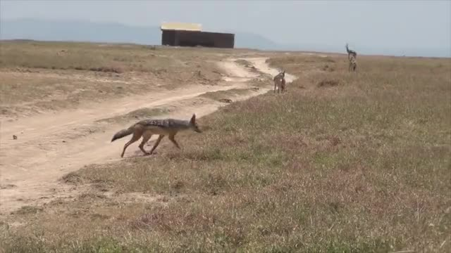 Watch and share Jackals Killing A Gazelle Fawn GIFs by Pardusco on Gfycat