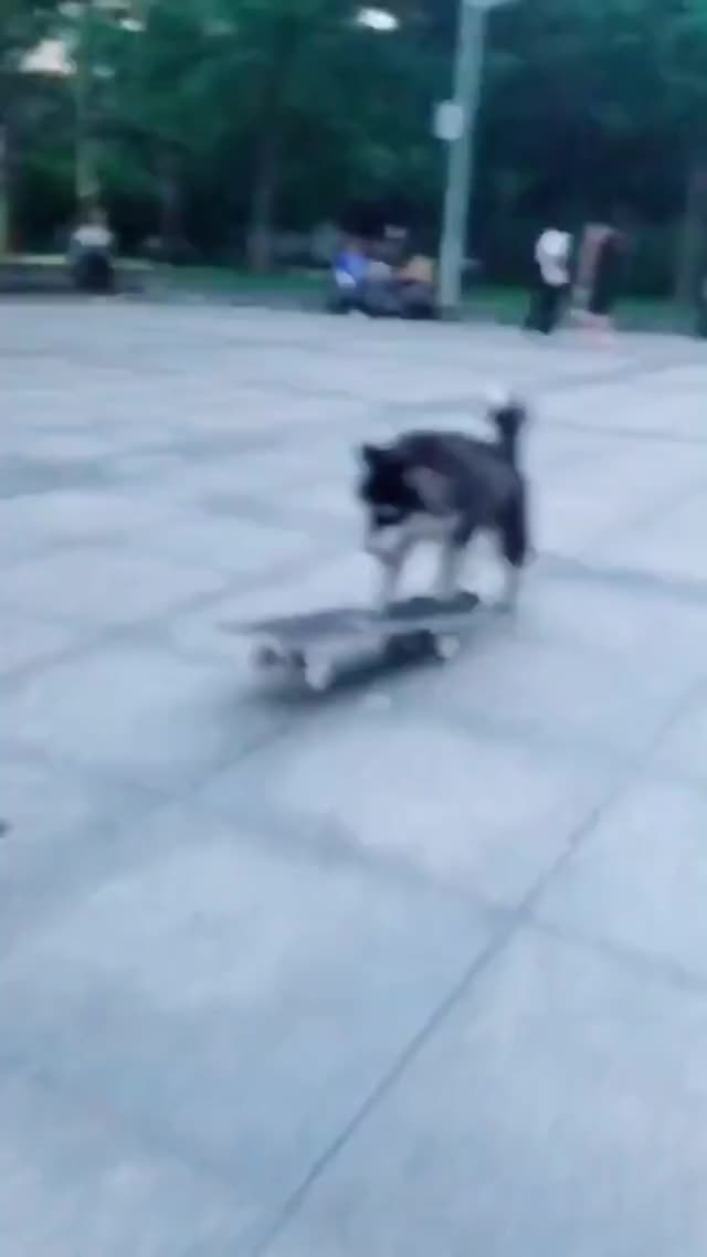 Watch Skateboarding dog. GIF on Gfycat. Discover more related GIFs on Gfycat