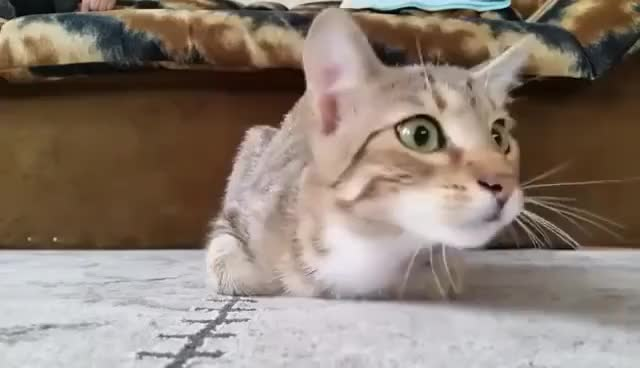 Watch and share Cat Watching Horror Movie GIFs on Gfycat