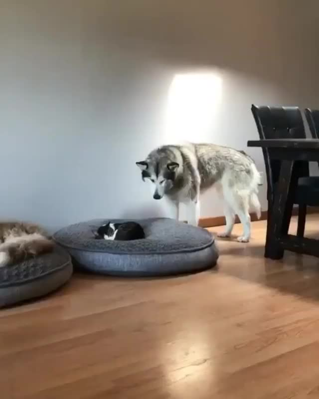 Watch When the cat is hogging your bed GIF by JustViral.Net (@justviralnet) on Gfycat. Discover more animals, cat and dog, funny, gif, hilarious, justviral.net GIFs on Gfycat