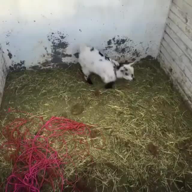 funny, goatparkour, goats, Hardcore parkour /r/Goatparkour GIFs