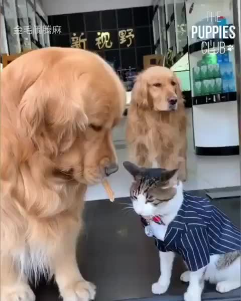 cat, dog, dog, cat, cute, funny, dogs, Suit cat GIFs