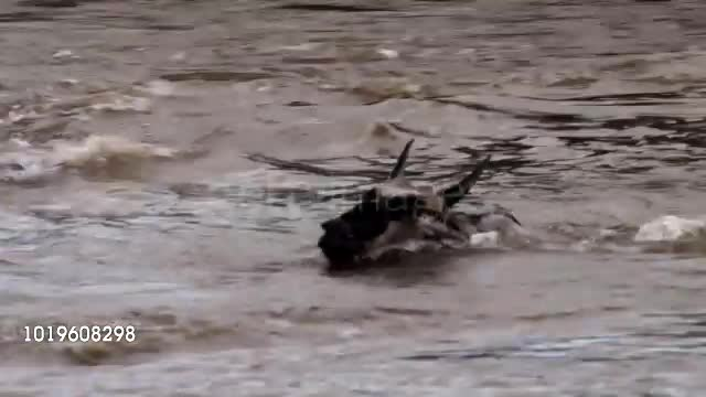Crocodile makes a Wildebeest disappear GIFs