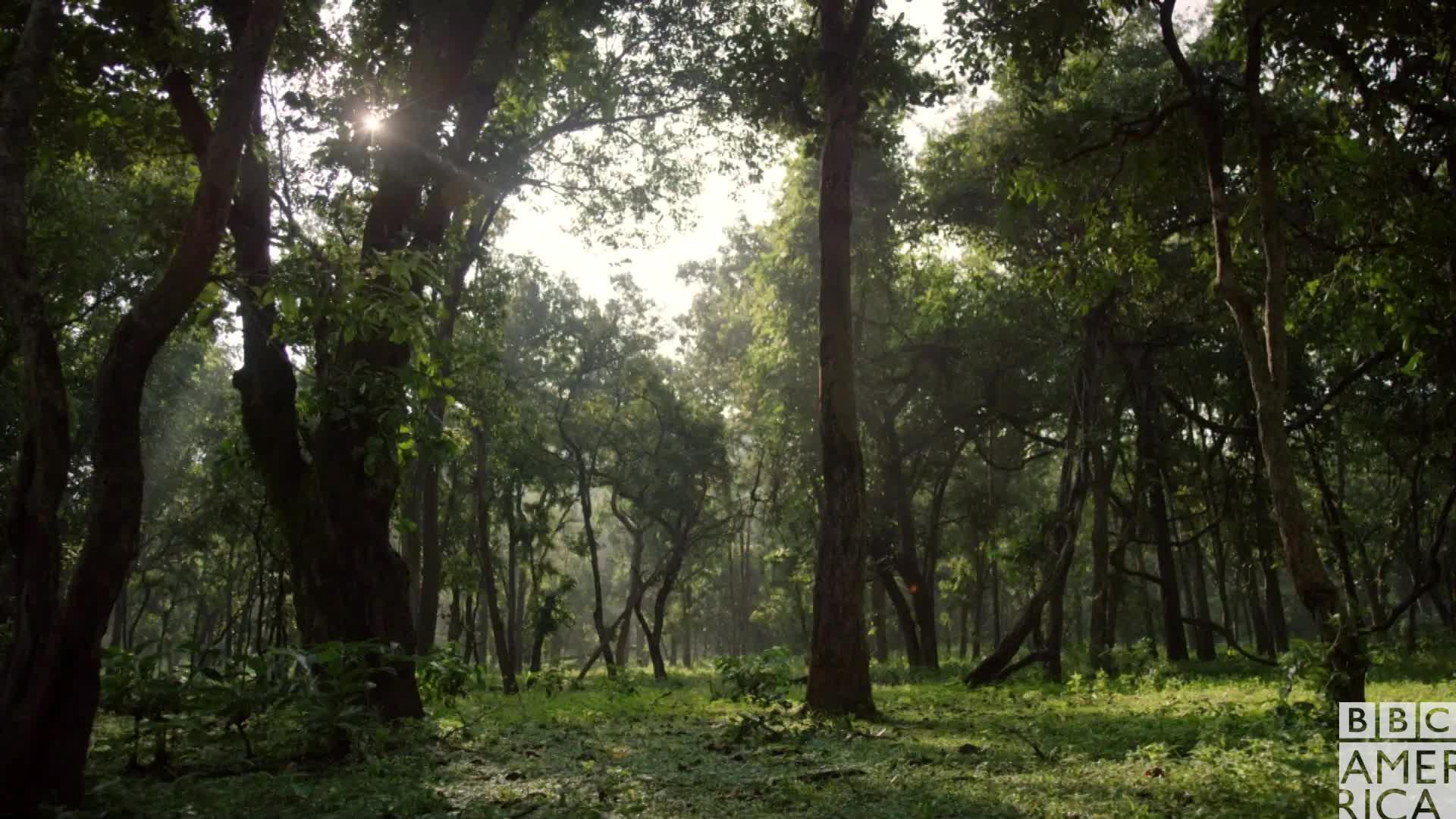 animal, animals, bbc america, bbc america dynasties, bbc america: dynasties, dynasties, nature, Dynasties Tiger Forest GIFs