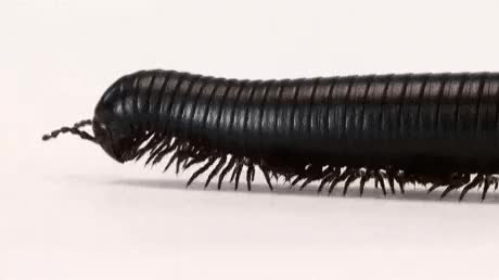 Watch and share The Largest Of The 10,000-known Species Of Millipede, The Giant African Millipede Reaches Anywhere From 4-12 Inches In Length GIFs on Gfycat