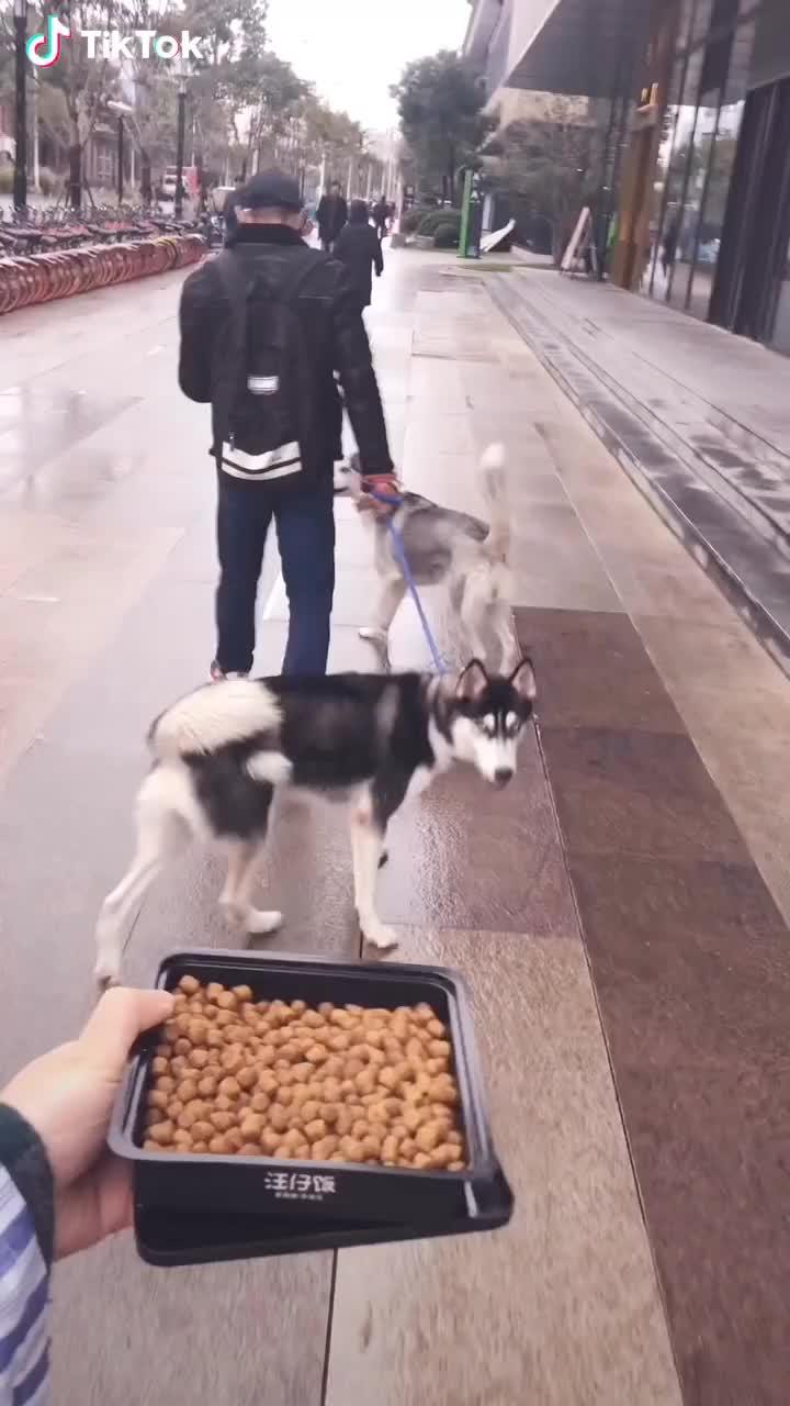 Two hungry huskies GIFs