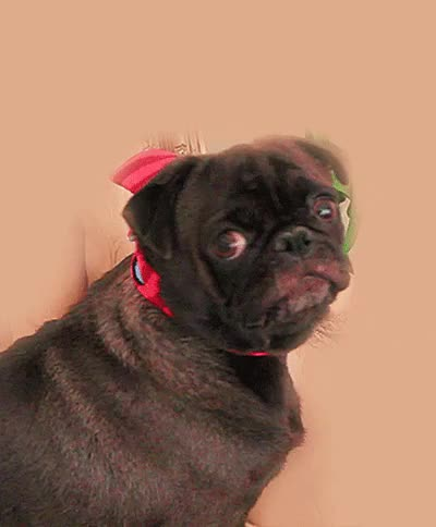 Watch this GIF on Gfycat. Discover more cutiepiemarzia, edgar, edgar allan pug, marziapie, pug, pug gifs, pugs GIFs on Gfycat