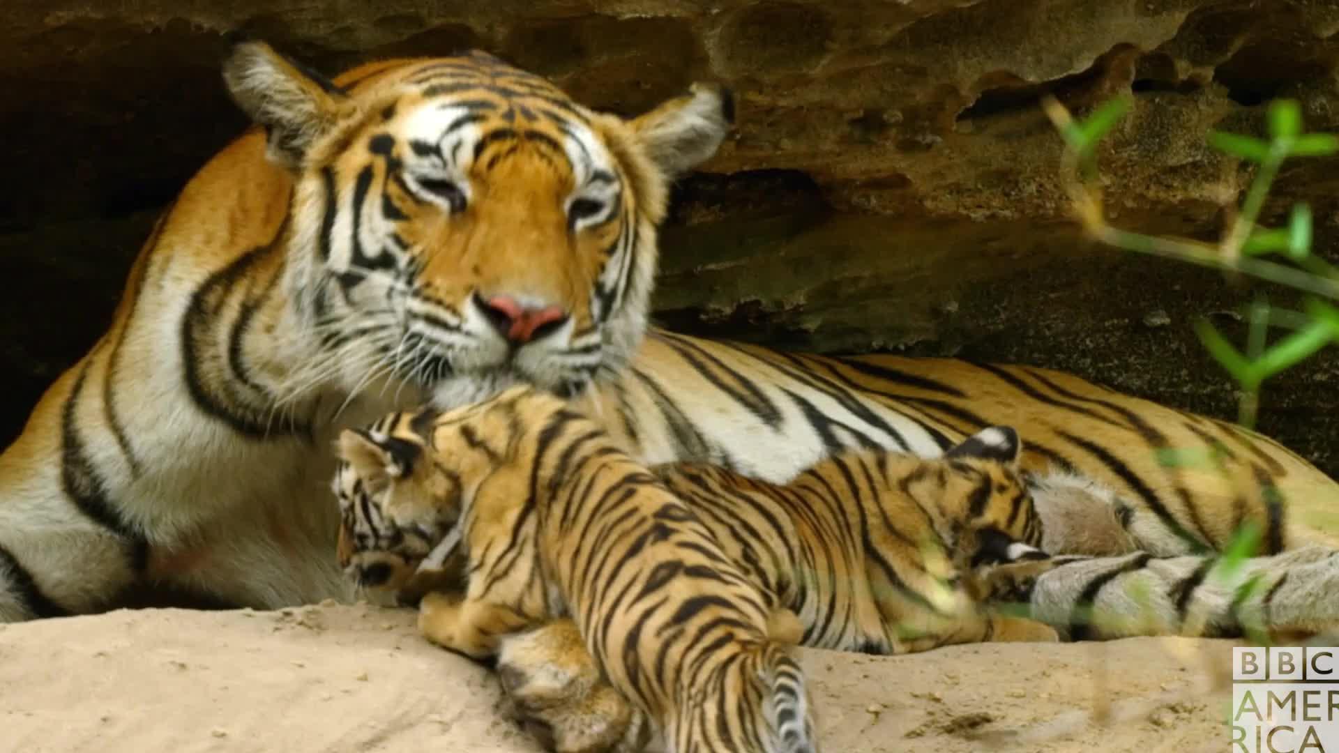 animal, animals, awww, bbc america, bbc america dynasties, bbc america: dynasties, dynasties, kiss, kisses, love, tiger, tigers, Dynasties Raj Bhera Tiger Licking Cub GIFs