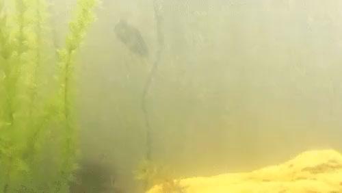 Watch oscar GIF on Gfycat. Discover more Aquariums, aquariums GIFs on Gfycat