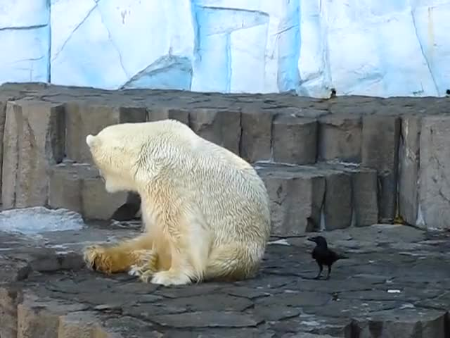 Watch this polar bear GIF on Gfycat. Discover more animals, funny GIFs on Gfycat