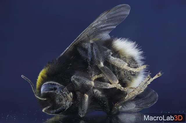 Watch Bumblebee wigglegram GIF by MacroLab3D (@macrolab3d) on Gfycat. Discover more 3D macro, Bumblebee, MacroLab3D GIFs on Gfycat