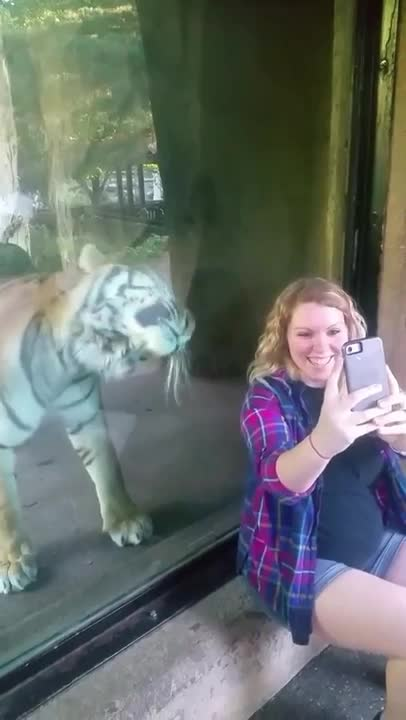 AnimalsBeingBros, aww, popular, tiger loves pregnant lady GIFs