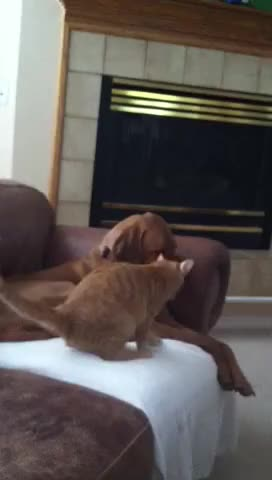 Watch MY FIRST CAKEDAY! here is my kitty lovin up on my puppy (reddit) GIF on Gfycat. Discover more AnimalsBeingBros, animalsbeingbros GIFs on Gfycat