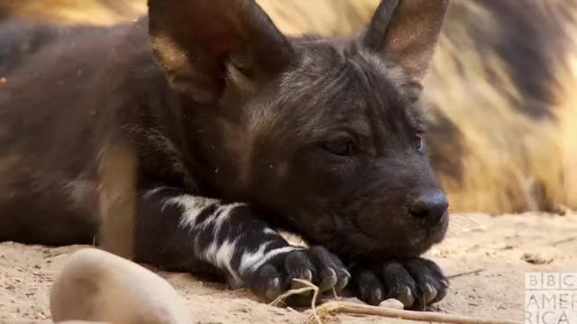 Dynasties Wolf Pup Tired