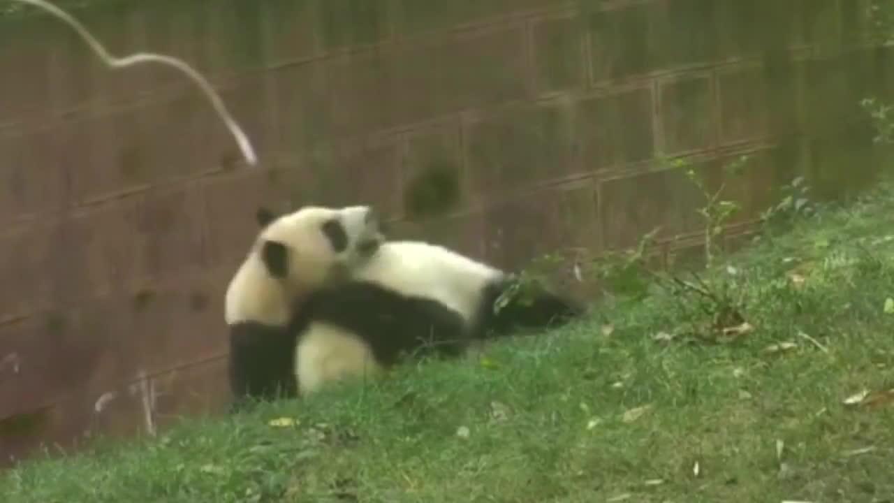 Panda_Gifs, gifs, hitmanimals, Bully your sister? Nope. GIFs