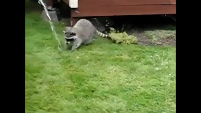 Watch Racoon php GIF on Gfycat. Discover more 2m, Announcement, Compilation, Dog, Hit, VIDEOS, accident, best, crash, falling, freak, freakout, pets, popular, proposal, puppies, puppy, reactions, wfv, youtube GIFs on Gfycat