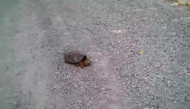 Watch and share Snapping Turtle Attacks GIFs on Gfycat