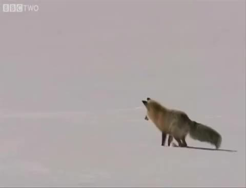 Watch and share Fox Jump Snow GIFs on Gfycat
