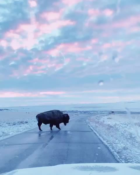 nathaniel wise, nature, shotoniphone, A group of buffalo cross a quiet country road in Utah GIFs