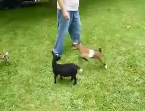 Watch goat GIF on Gfycat. Discover more goat GIFs on Gfycat