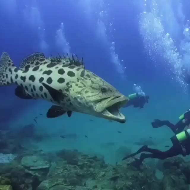 Watch and share Grouper. Sodwana Bay GIFs by alternations on Gfycat