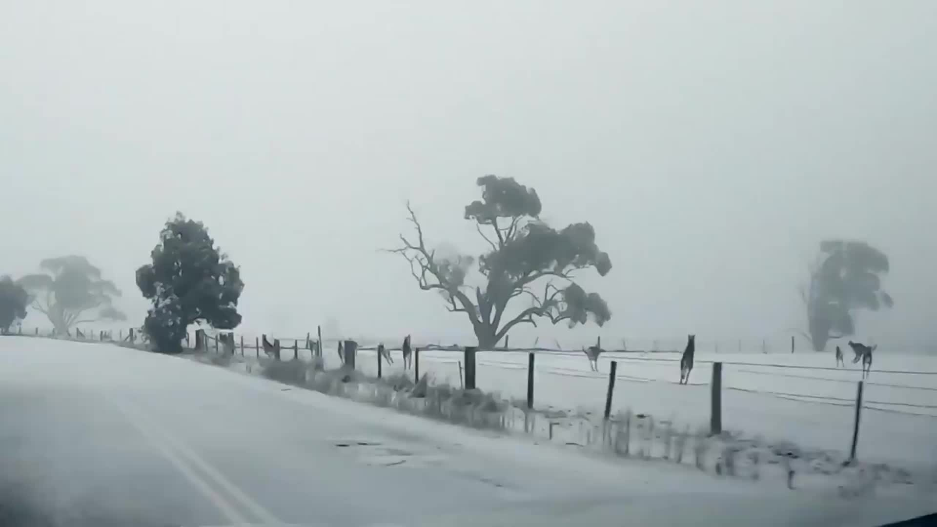 Kangaroos in the Snow, ❄️ Nippy the bush kangaroo! ❄️ These roos jumped all around in the snow at C... GIFs
