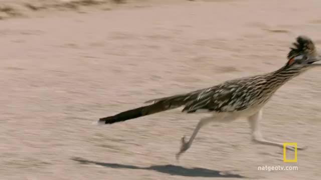 Watch and share Roadrunner Stalking A Rattlesnake GIFs on Gfycat
