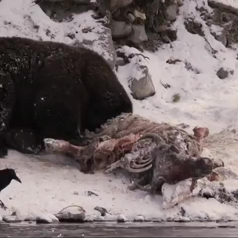 grizzly bear playing with food after coming out of hibernation and just cheerful to be alive