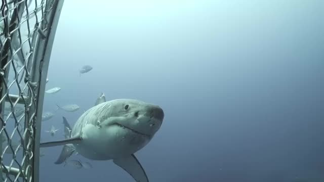 Watch and share Great White GIFs by solateor on Gfycat