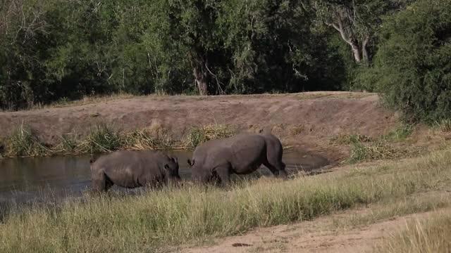 Watch this rhino GIF by @londolozi on Gfycat. Discover more rhino, rhinoceros GIFs on Gfycat