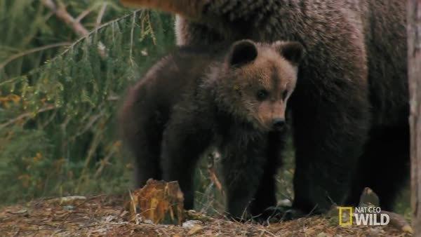 BearCubGIFs, bearcubgifs, Mama makes nice scratching pole (reddit) GIFs