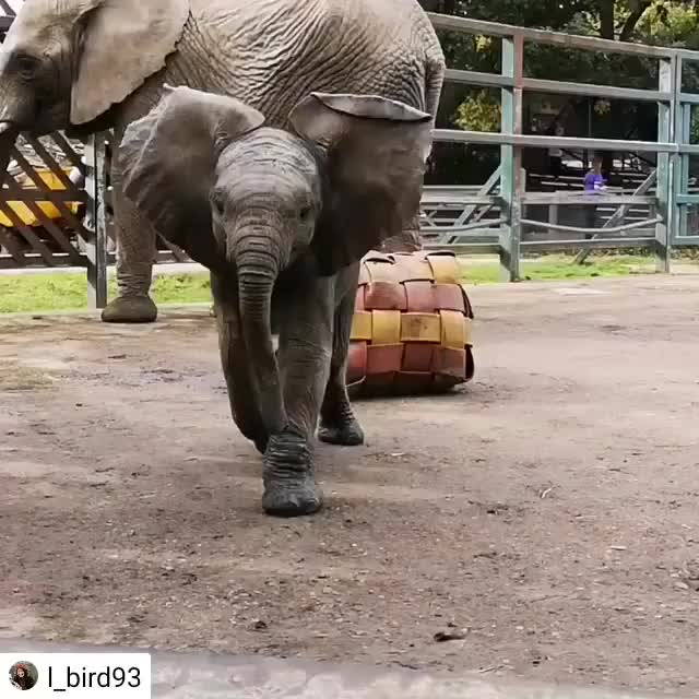 Watch this humanapproved GIF by PM_ME_STEAM_K3YS (@pmmesteamk3ys) on Gfycat. Discover more Repost, babybull, babyelephant, cube, elephant, elephantcalf, elephantkeeper, enrichment, firehose, firehosecube GIFs on Gfycat