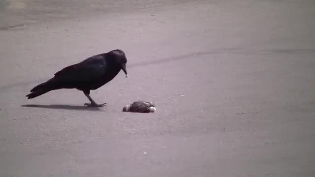 Watch and share Crow Tossing Around A Chick GIFs by Pardusco on Gfycat